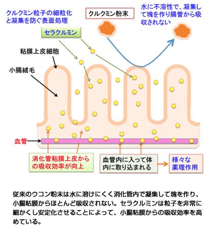 従来のウコン粉末は水に溶けにくく消化管内で凝集して塊を作り、小腸粘膜からほとんど吸収されない。セラクルミンは粒子を非常に細かくし安定化させることによって、小腸粘膜からの吸収効率を高めている。